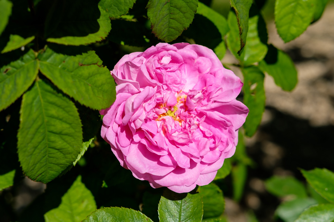 Rosa 'Max le Comte'