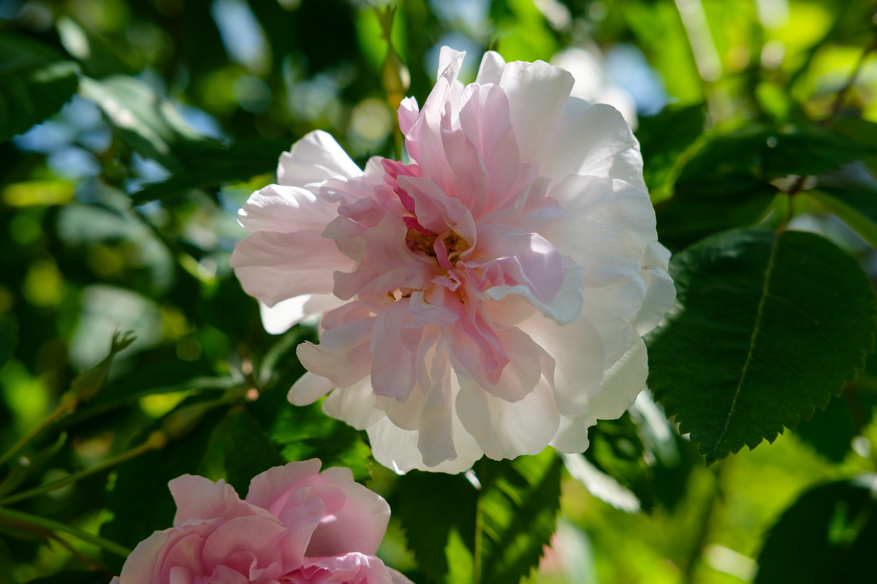 Rosa 'Blush Boursault