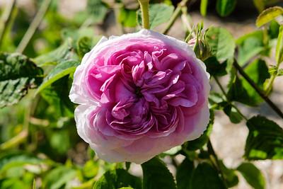 Rosa 'Belle sans flatterie'