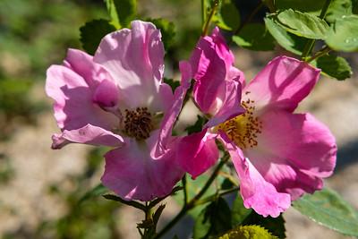 Rosa 'Beth'