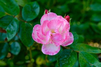Rosa 'Gravin Michel d'ursel'