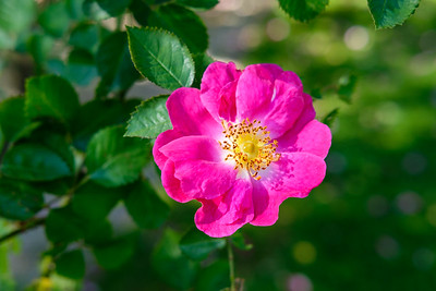 Rosa 'Anne of Geierstein'