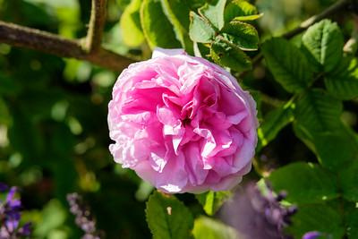 Rosa 'Zaire'