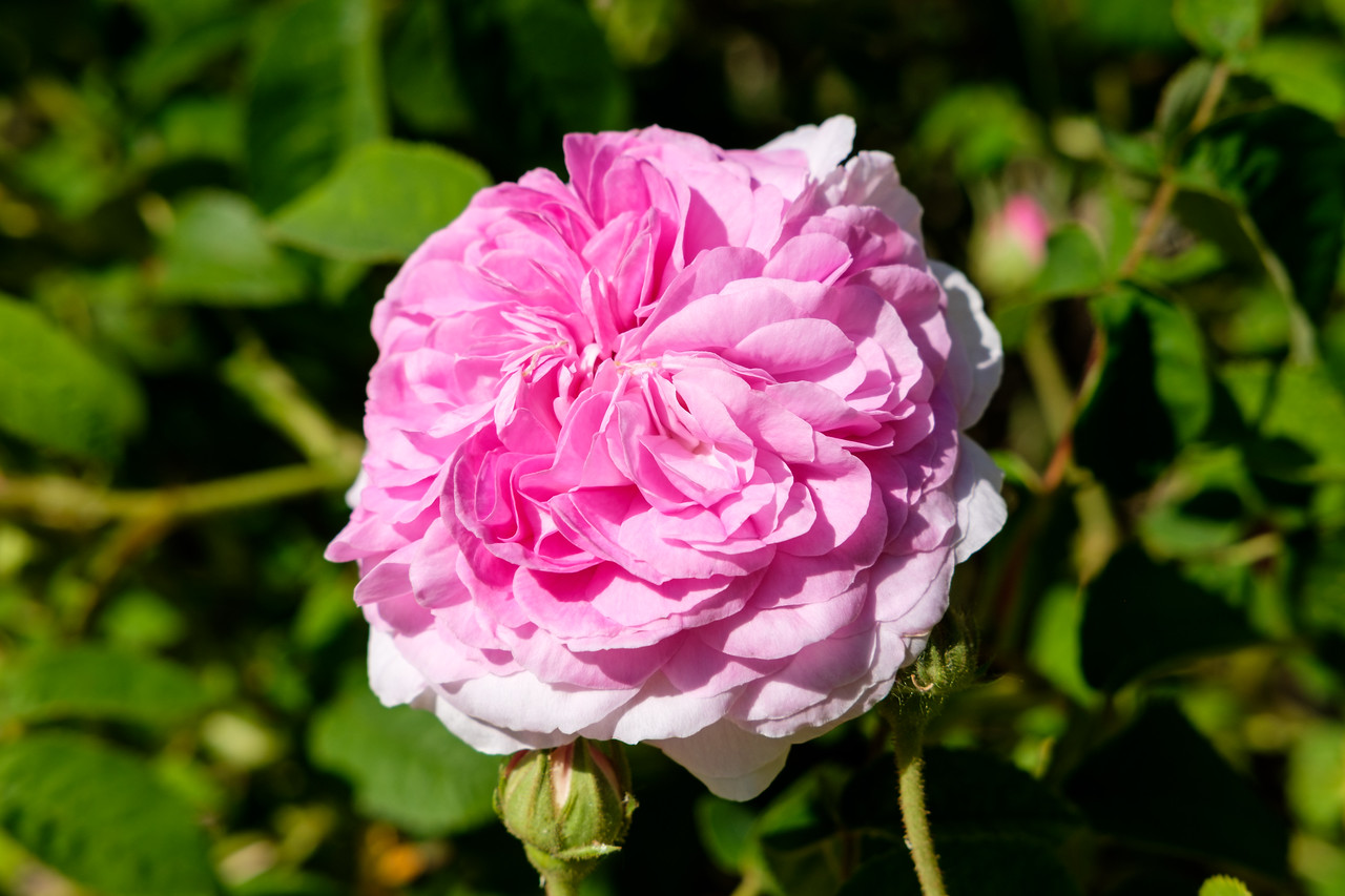 Rosa 'Louis Vantyle'