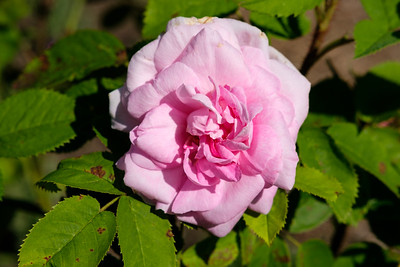 Rosa 'Mme Edouard Ory'