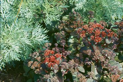Sedum 'Arthur Branch'-Artemisia 'Powis Castle'