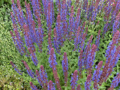 Salvia nemorosa 'Senior'