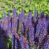 Salvia nemorosa 'Negrito'