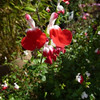 Salvia 'Hotlips'