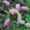 Sanguisorba 'Pink Brushes'
