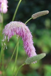 Sanguisorba 'Pink Brushes' close-up