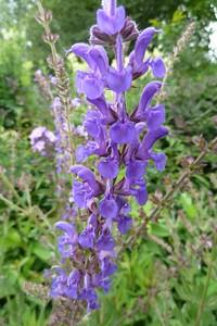 Salvia regeliana