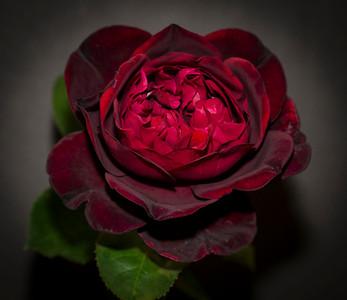 Old Garden Rose 'Frances Dubreuil', Most Fragrant Rose