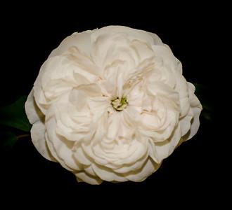 Old Garden Rose 'Madame Hardy'