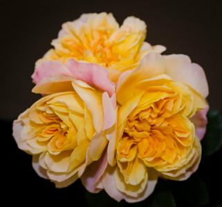 Spray of climbing rose 'The Impressionist'