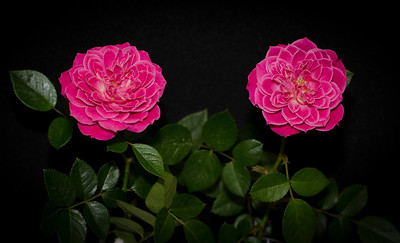 """Twins"" are two blooms of decorative miniature rose 'Marriotta'"