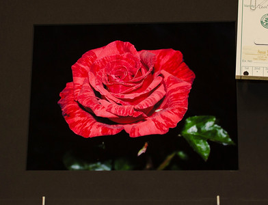 Best of Photography Division - Hybrid Tea Red Intuition