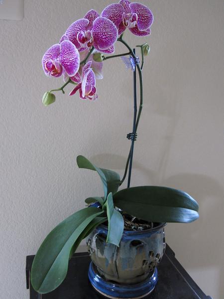 Phaalaenopsis purchased June 2009 @ Home Depot.