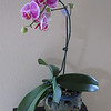 Phaalaenopsis purchased June 2009 @ Home Depot.