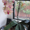 My second orchid ever (the 1st one died)  - but this one is going strong, strong, strong.  It desperately needs repotting, but won't stop blooming.