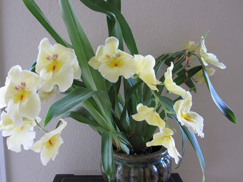 Miltonia purchased January 2010 from orchid shop in Corte Madera.  Very fragrant.