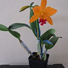 My 2nd Cattelya - also purchased 2/27/10 @ SF Orchid Festival.