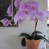 Phalaenopsis purchased June 2009 @ Home Depot.
