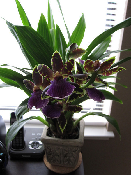 Zygopetalum that Ferg brought home the other weekend.  Extremely fragrant.