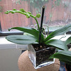"Seedling I purchased a few years back from Parkside Orchid Nursery.  This little guy is a bit of a ""late bloomer"" compared to his siblings.  But my repotting might have held him back."