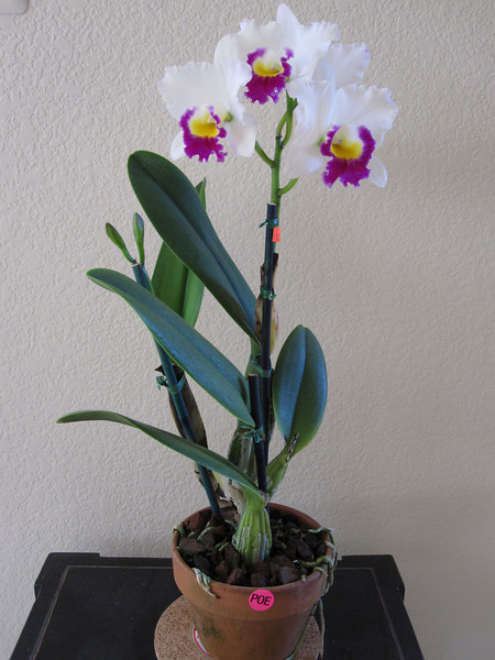 My 1st Cattelya!!!  Purchased 2/27/10 @ SF Orchid Show.  I've been dying for a Cattelya for YEARS!