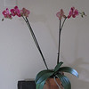 Phalaenopsis purchased February 2010 @ Sloat Garden Orchid special.