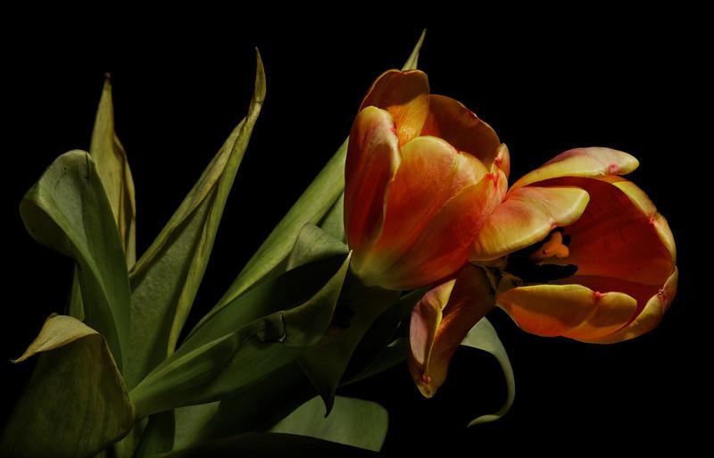 Tulip No4