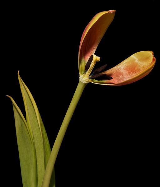 Tulip No8