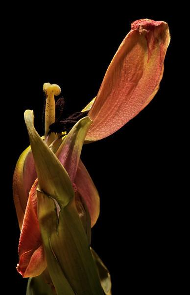 Tulip No9