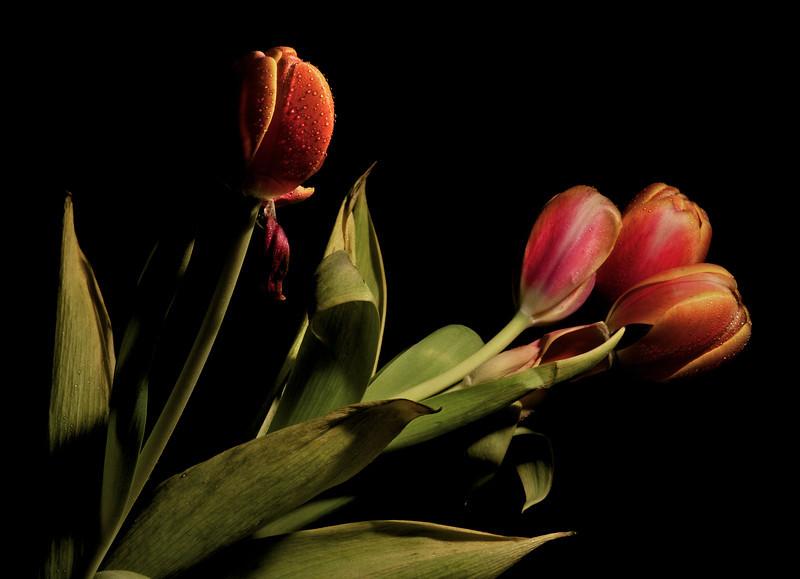 Tulip No3