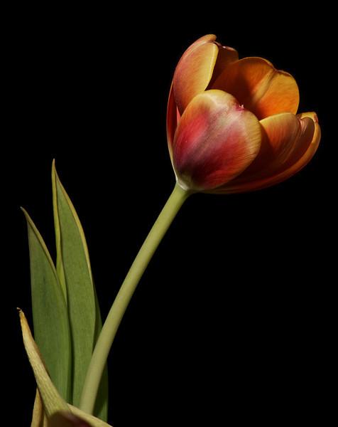 Tulip No6