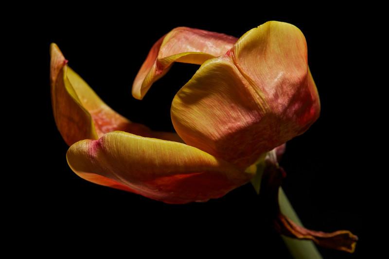 Tulip No5