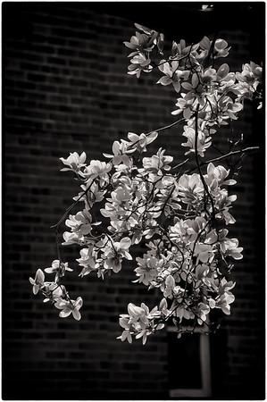 SUMMER! Magnolia Blossoms