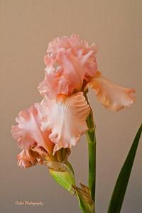 Pink Bearded Irises