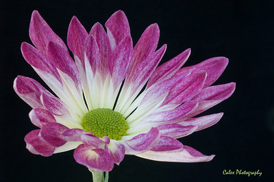 Purple Daisy 3