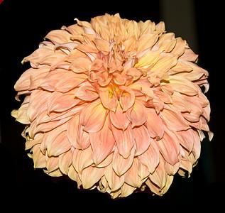 Pale Apricot Dahlia GMcC