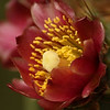 Cholla Bloom (618x800)