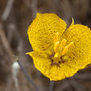 Miraposa Lily