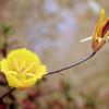 Miraposa Lily (800x566)