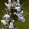 White Sage (779x800)