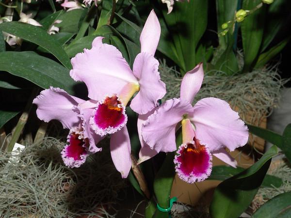 San Francisco Orchid Show 2006
