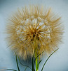 These look like the dandelion's globe of parachute seeds, but these are seed globes of the Salsify plant.  2-3 larger than the dandelion's, these are more visually impressive reaching diameters close to 4 inches.  The plant is native to Asia and Europe, but does well here.