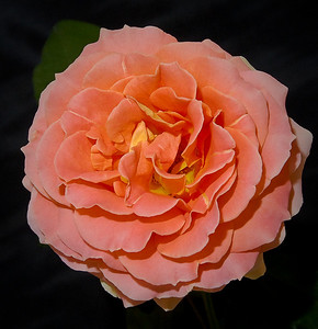 Floribunda Bloom - 'Brass Band'