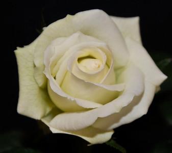 Miniflora Bloom - 'Whirlaway'