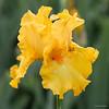 """Iris """"Slew o' Gold"""""""